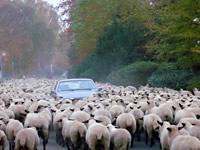 Auto inmitten von Schafen
