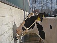 Wettbewerbs-Kuh Gracie