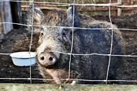 Wildschwein Fridolin