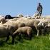 Von Schafen und Schäfern Vorschau
