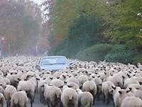 Der Treck der Schafe